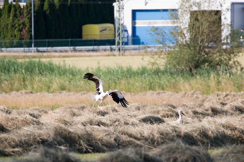 Abflug eines Weißstorchs im Wiesental, 19.06.2018 (Foto: B. Budig)