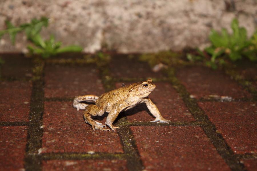 Erkrötenmännchen in einer Hofeinfahrt (Foto: B. Budig)