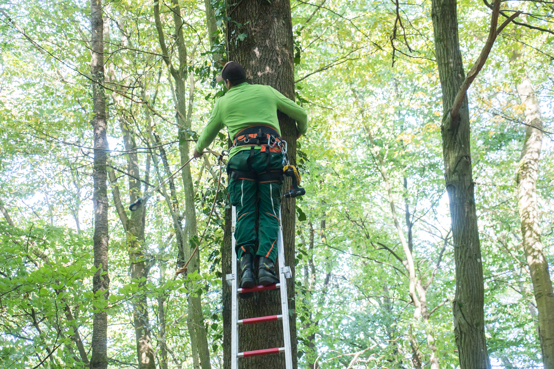 Die Leiter steht am 2. Baum. Patrick sichert seinen Stand per Seil