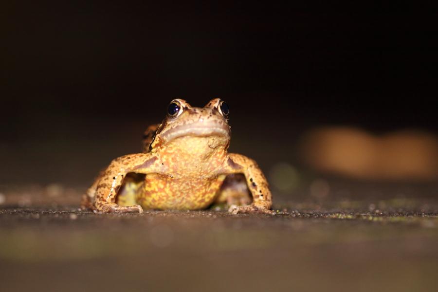 Auf Augenhöhe mit einer Erdkröte (Foto: B. Budig)