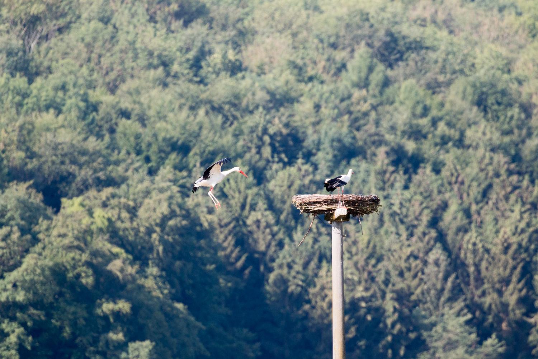 Anflug eines zweiten Weißstorches zum Storchennest, 19.06.2018 (Foto: B. Budig)