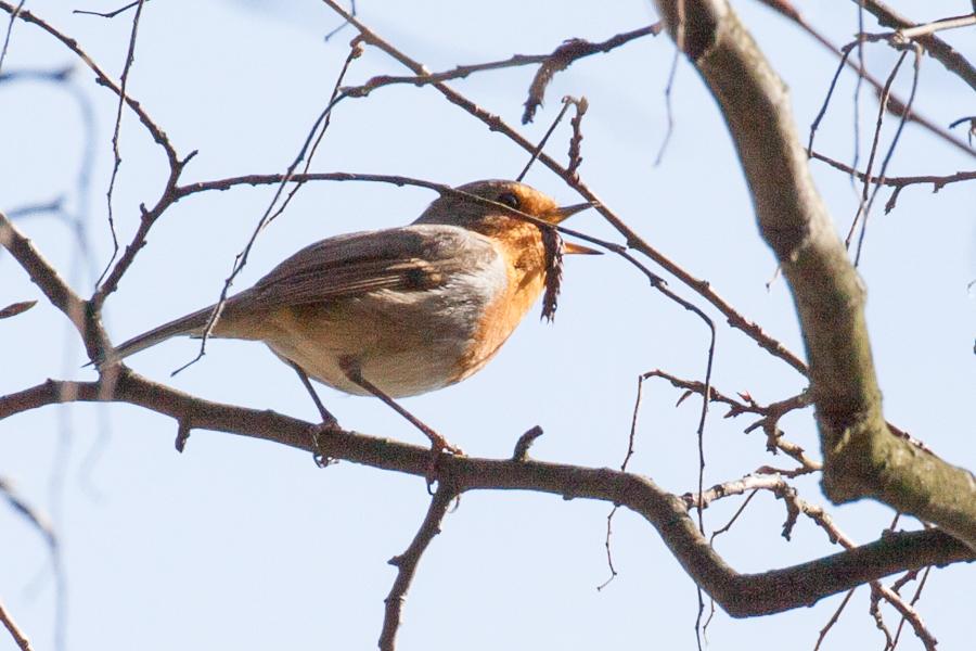 Singendes Rotkehlchen (Foto: B. Budig)