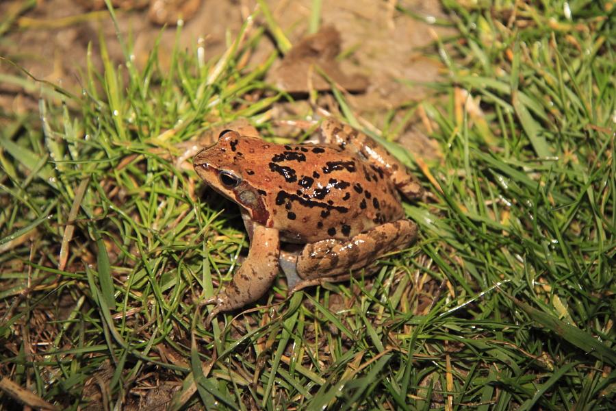 einzelner männlicher Grasfrosch (Foto: B. Budig)