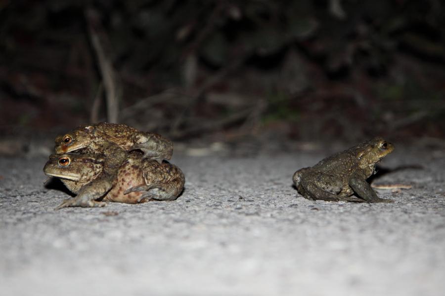 Erkrötenpäarchen und Erdkrötenmännchen (Foto: B. Budig)