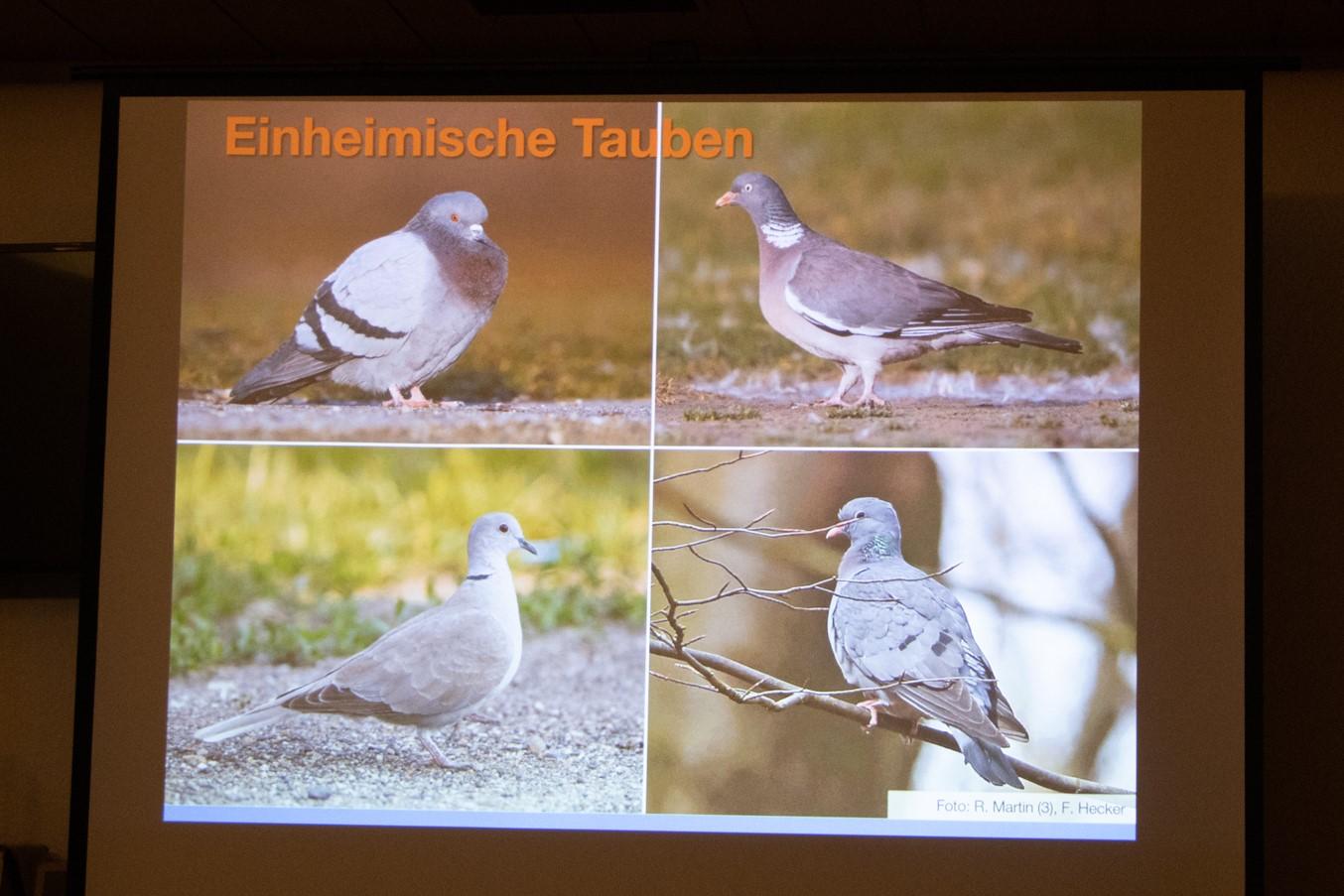 Zum Vergleich die einheimischen Taubenarten (Foto: B. Budig)