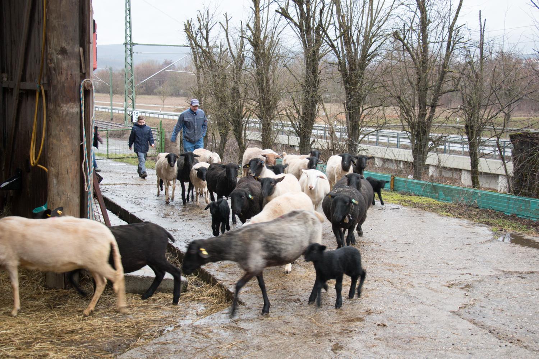 Die Schafe werden nach einem kurzen Ausflug auf die Weide zurückgetrieben