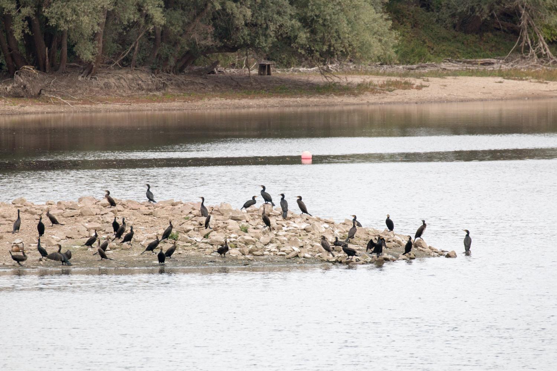 Kormoran-Kolonie am Fretter Loch