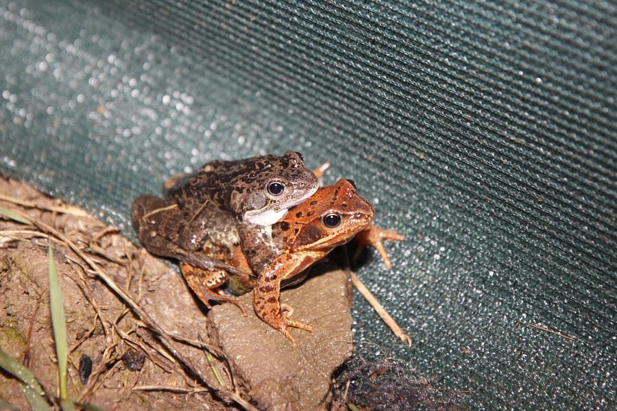 Erstaunlich: In diesem Jahr sind die Grasfrösche auch erst spät und damit parallel mit den Erdkröten auf Wanderschaft zum Laichgewässer. Ein Grasfroschpärchen. (Foto: B. Budig)