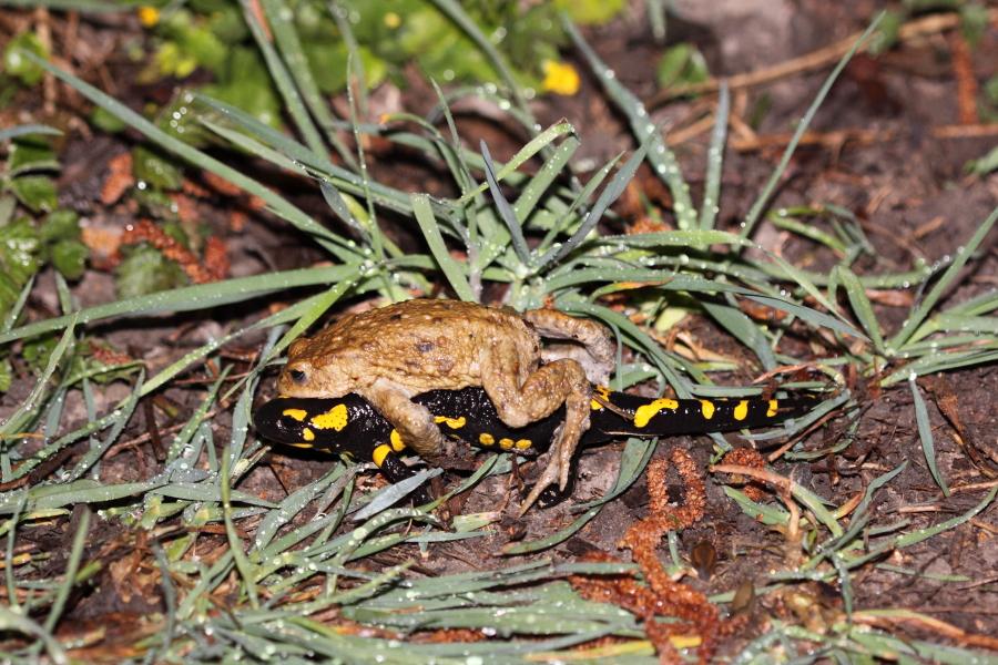 Erkrötenmännchen, das sich an einen Feuersalamander klammert (Foto: B. Budig)