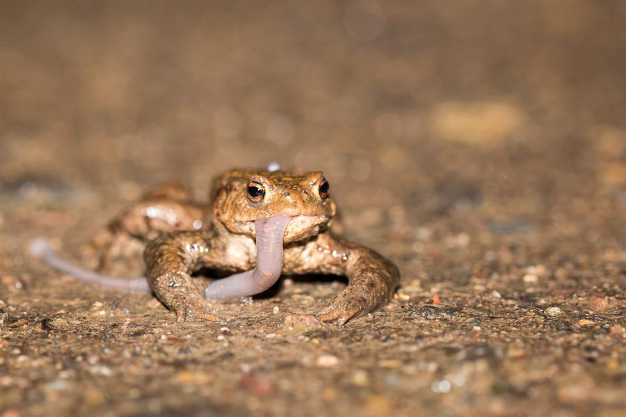 Erdkrötenmännchen verspeist Regenwurm (Foto: B. Budig)