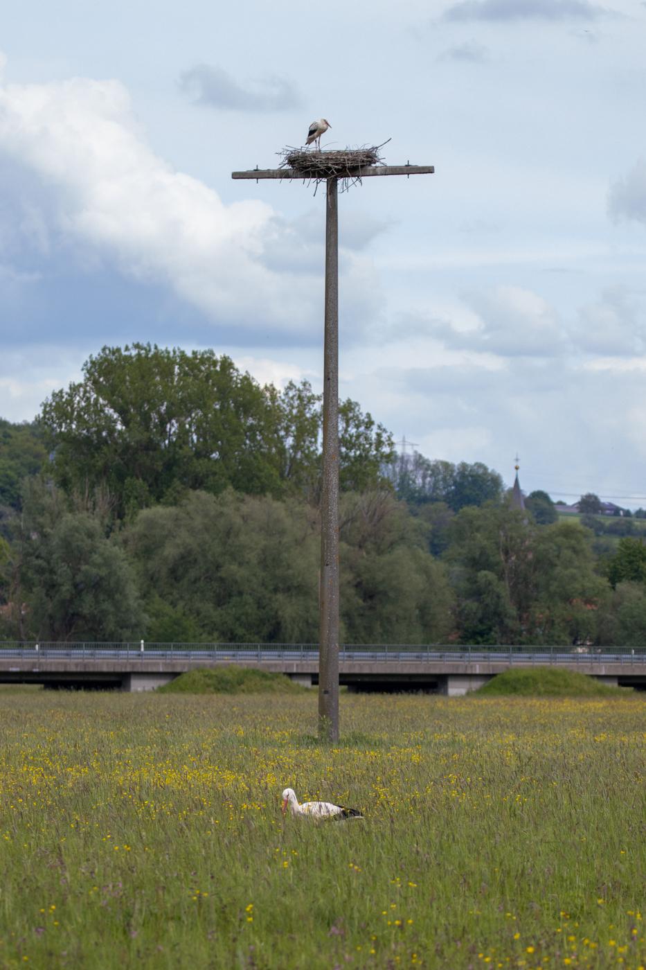 Störche rund um das Storchennest am 20.05.21 (Foto: H. Budig)