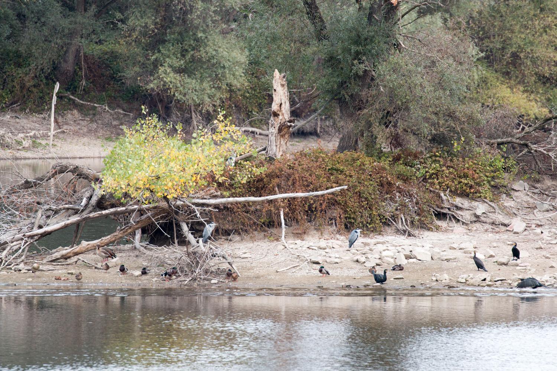 Enten, Nilgänse, Graureiher am Fretter Loch