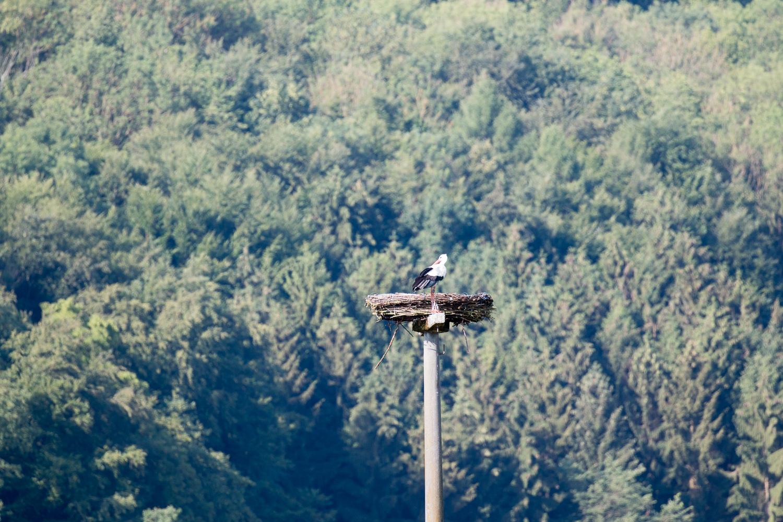 Weißstorch im Storchennest, 19.06.2018 (Foto: B. Budig)