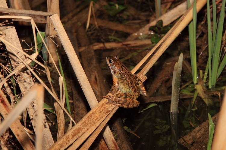 Grasfrosch-Männchen im Forstwaldteich (Foto: B. Budig)