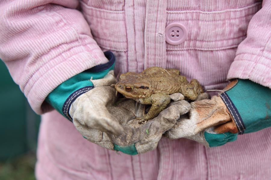 Erdkröte am hellichten Tag (Foto: B. Budig)