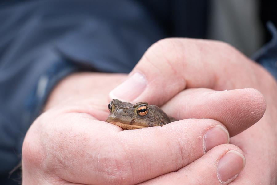 Wer schaut denn da hervor: Erdkrötenmännchen (Foto: B. Budig)