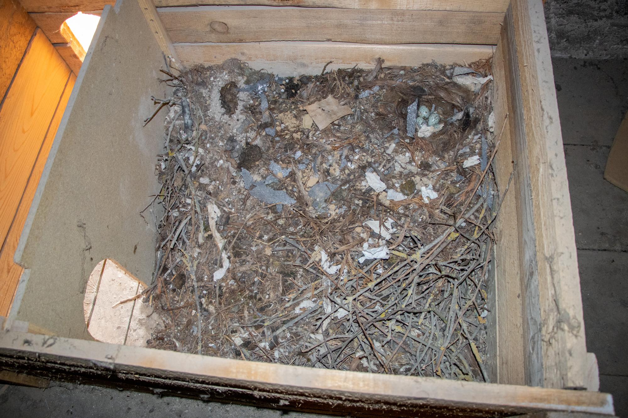 Nest mit viel Reisig im Nistkasten auf dem Dachboden