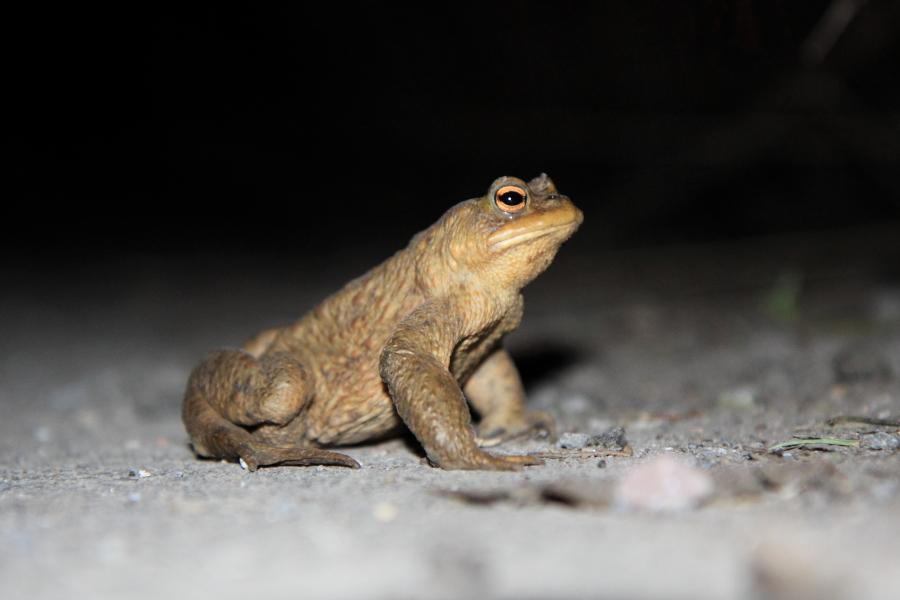 Erdkrötenmännchen auf dem Feldweg (Foto: B. Budig)
