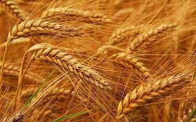 wheat in excipients a gluten source?