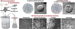 Overview development of probiotic.loaded microcapsules