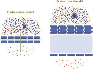 Schematic overview in vitro and ex vivo corneal models used for biopharmaceutical evaluation of surface active ophthalmic excipients