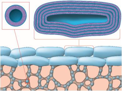 Schematic illustration of the phospholipid vesicle-based permeation assay