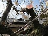 京都では未だ梅がきれいに咲いていました