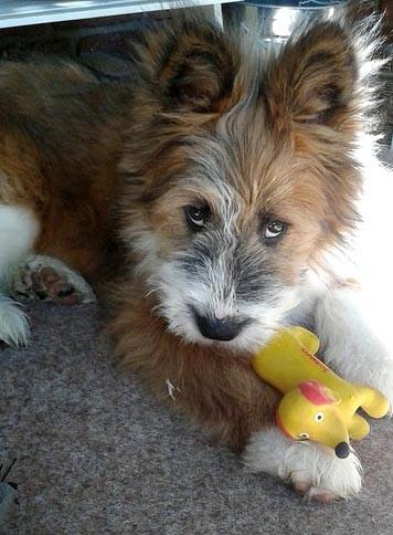 Elo Familienhund Rauhaar Kinderlieb Züchter Welpe