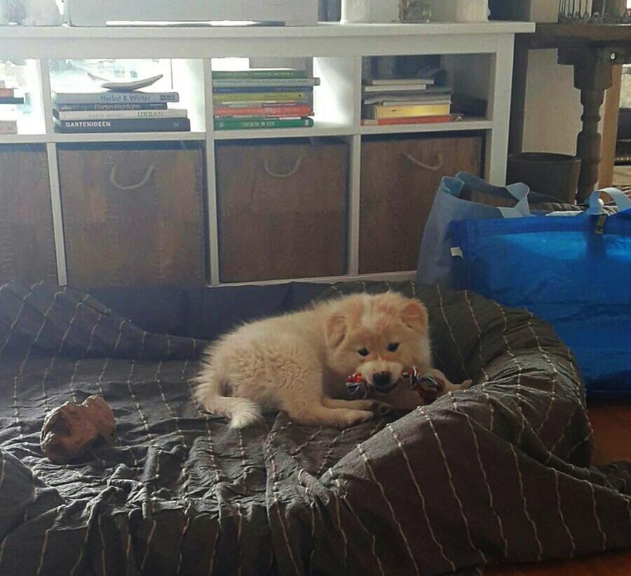 Elo Familienhund Welpe Zweithund