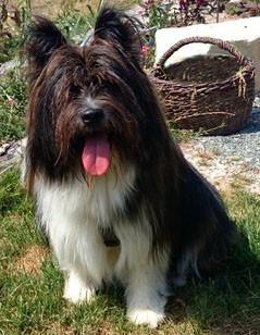 Klein-Elo Rau Familienhund Begleithund Therapiehund