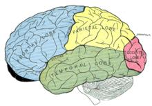 Großhirnrinde aus der lateralen Sicht. Der ventromediale, präfrontale Teil (Gages Schädigung) ist schwarz eingefärbt
