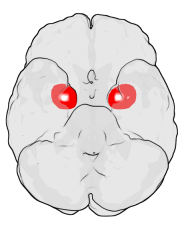 Position der Amygdala im menschlichen Gehirn