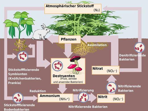 Stickstoffzyklus