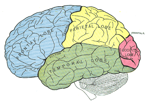 Vom visuellen Cortex (rot) führt der dorsale Strom zum hinteren Parietallappen (gelb), der ventrale Strom zum Cortex temporalis inferior (grün).