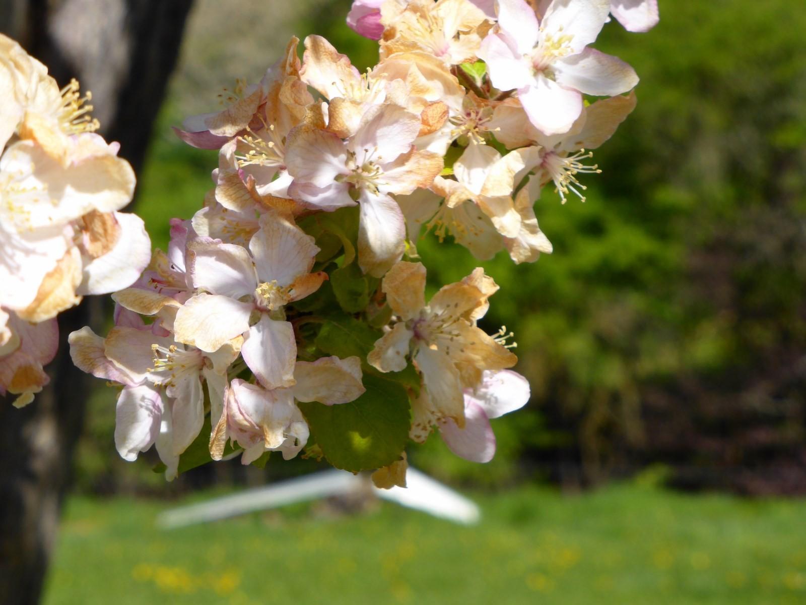 Apfelblüte © Hartmut Hermanns