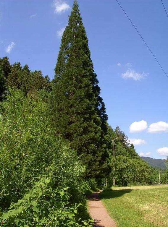 Mammutbaum  © Hartmut Hermanns