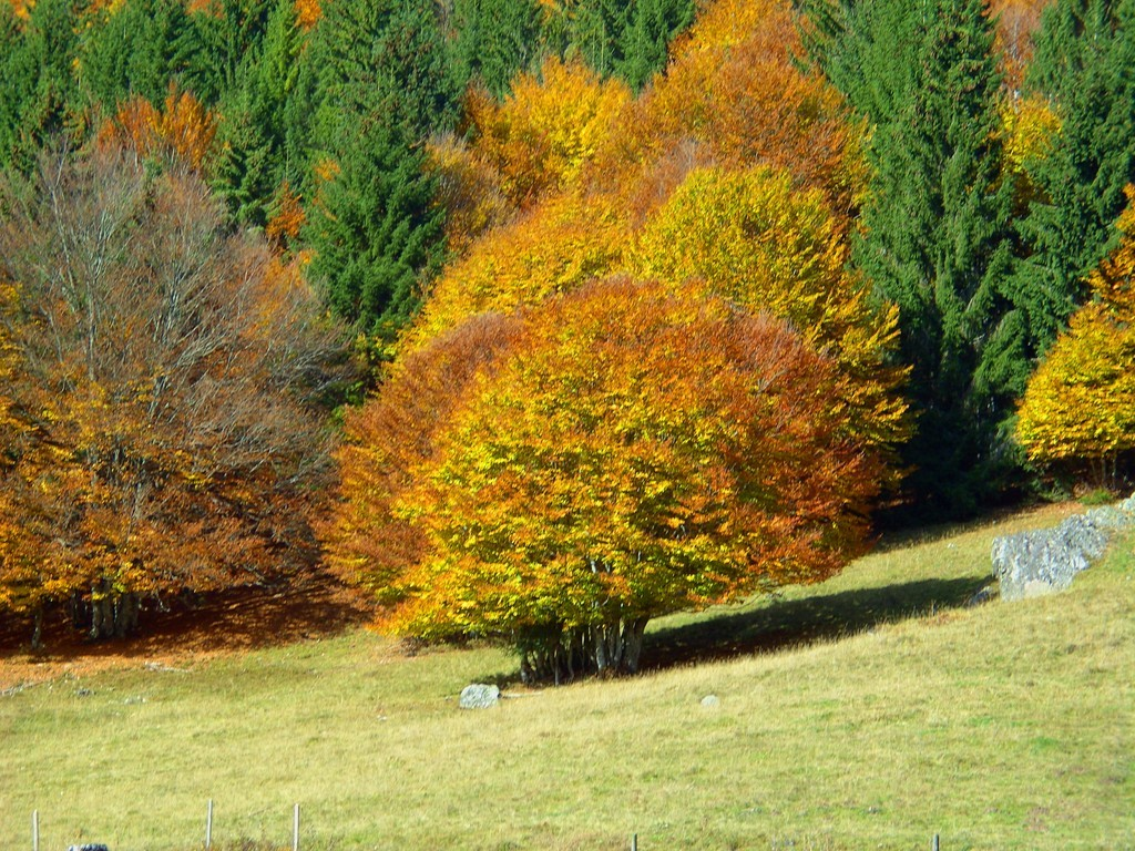 Weidbuche im Herbstkleid    © Hartmut Hermanns