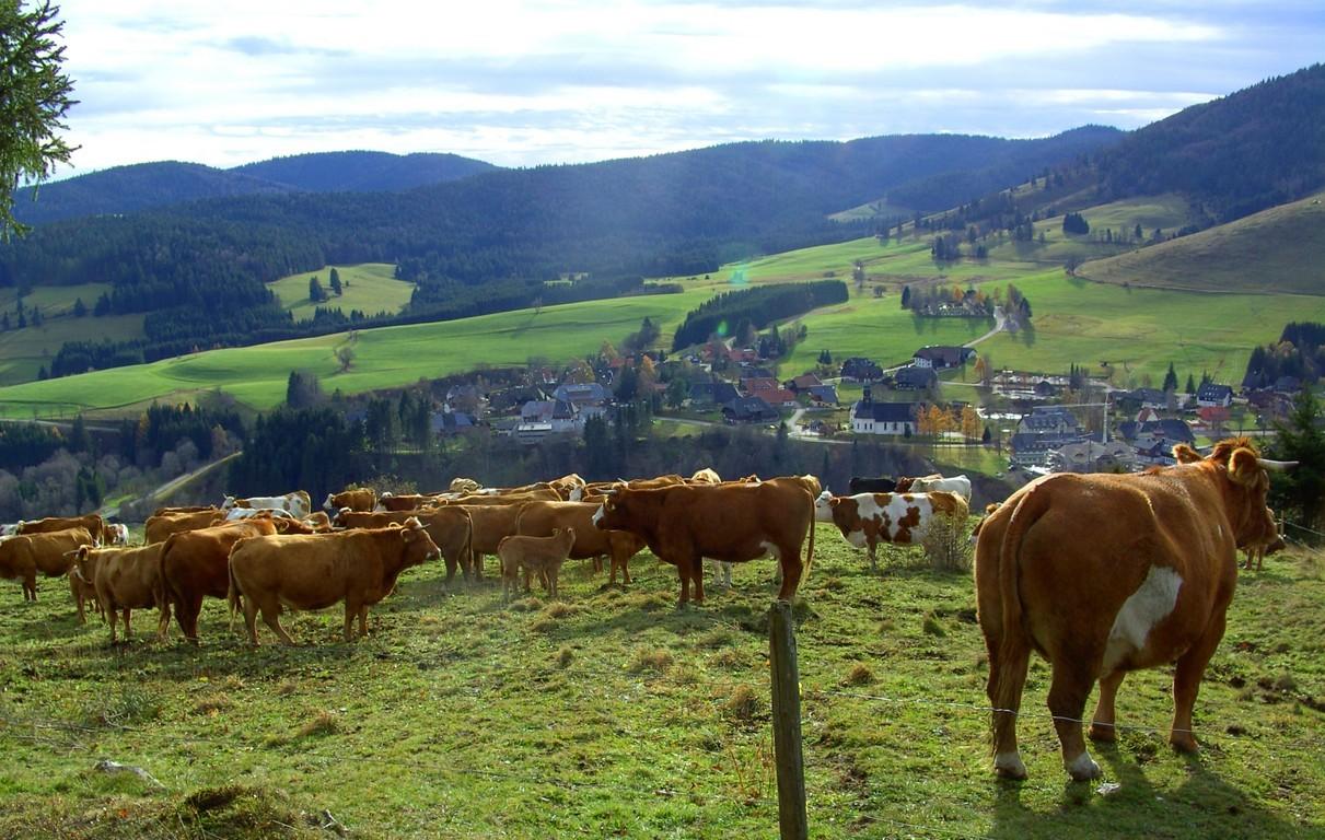 Hinterwälder Herde  © Hartmut Hermanns