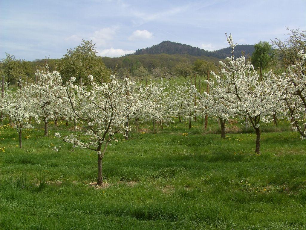 Blütenmeer m Eggener Tal