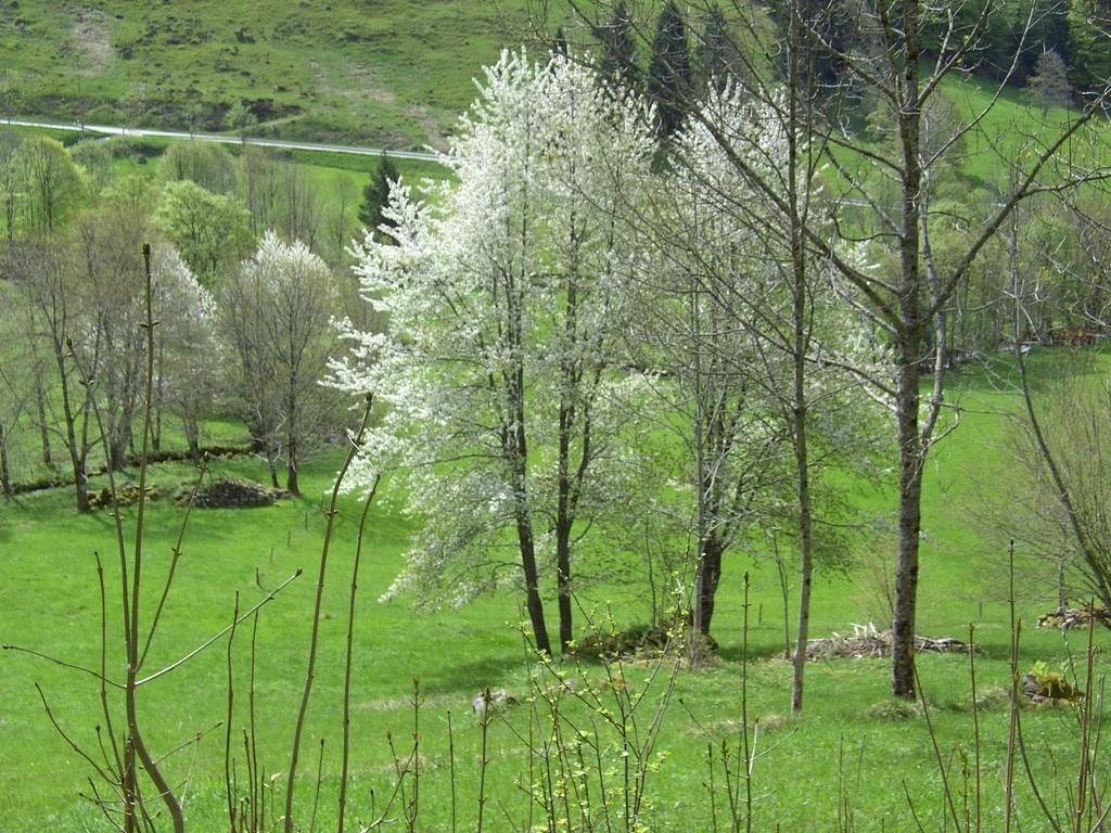 Kirschblüte im Mai © Hartmut Hermanns
