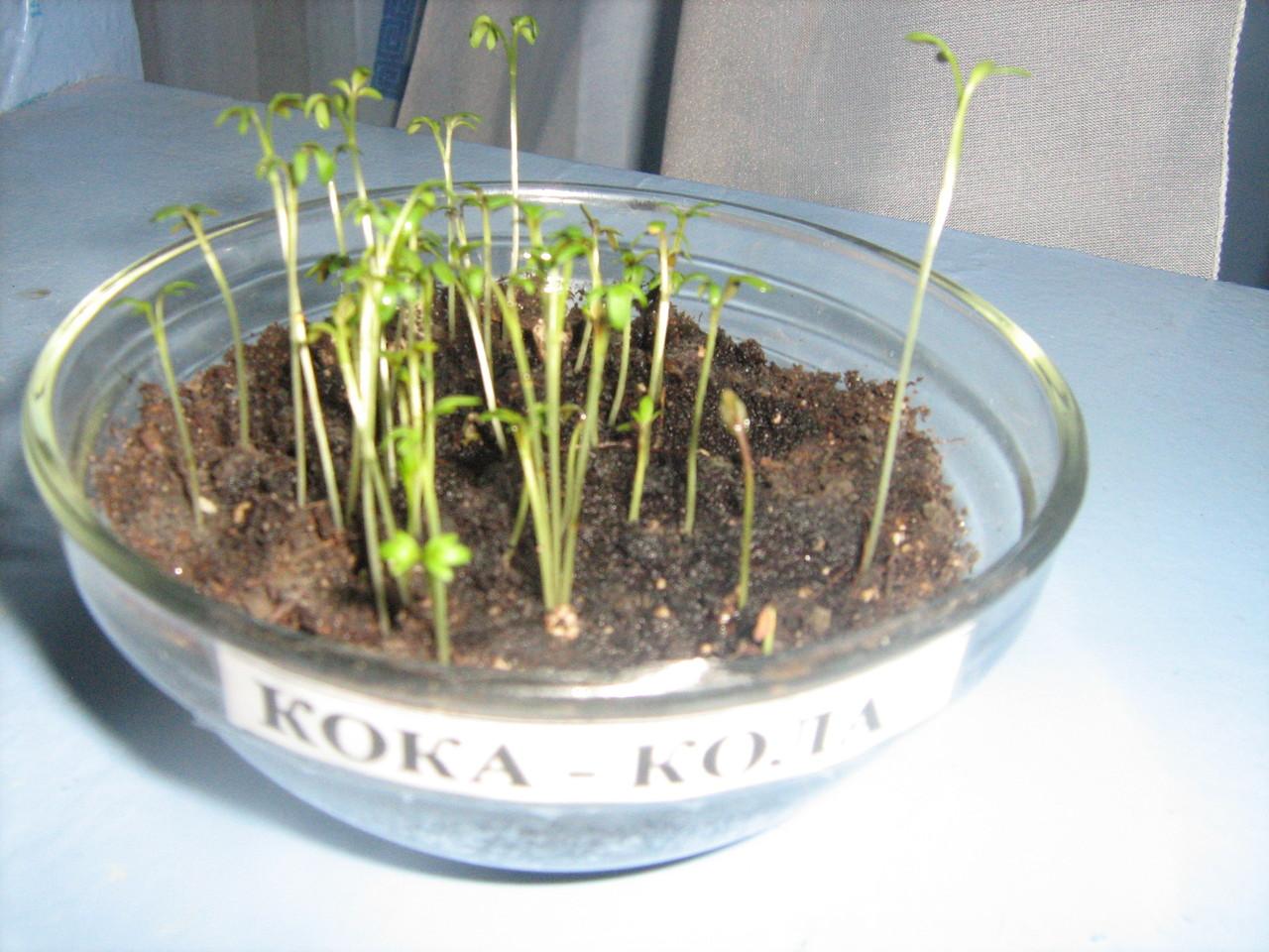 16.10 Проросло 38 семян. На почве появилась плесень. Запах неприятный.