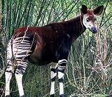 で、これが本物の珍獣「オカピ」。シマウマの仲間と思いきや、キリンの仲間だそうです。