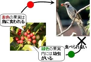図6.モチノキタネオナガコバチによる果実色操作と,それが鳥類に与える影響の概略図.