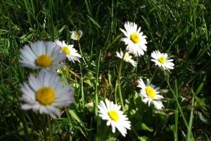 Gänseblümchen auf der Wiese.