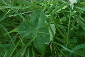 Vierblättriges Kleeblatt auf grüner Wiese.