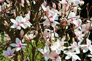 Blühender Magnolienstrauch.