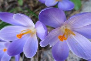 Violett-weiße Krokusse.