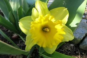 Osterglocken im Frühjahr