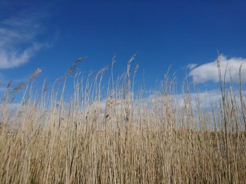 Schilfgras vor und blauem Himmel und weißen Wolken fotografiert.