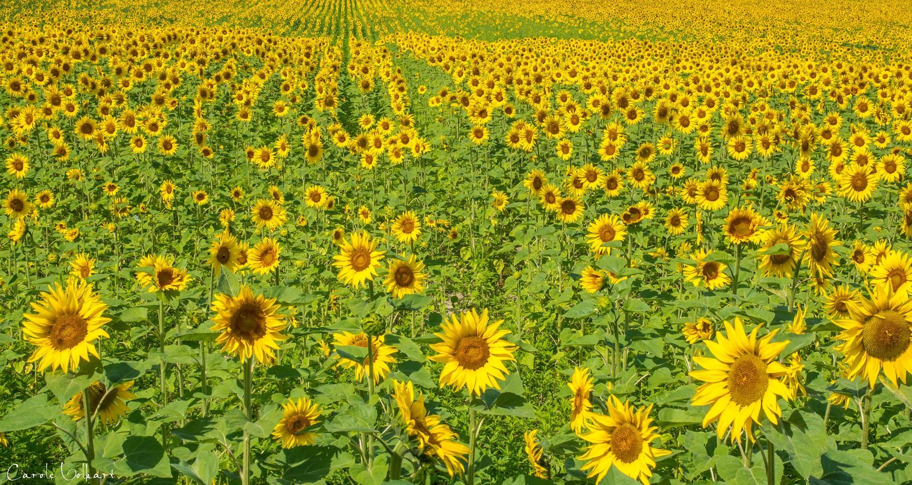 Sommer Sonne Sonnenblumen Carole Volkart I